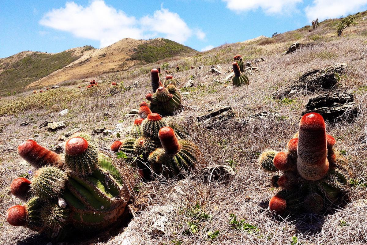 Ilet Tintamarre cactus